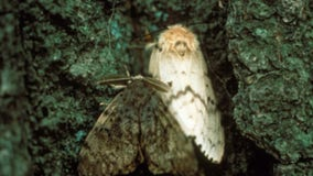 Neighborhood near Loring Park to be treated for gypsy moth infestation