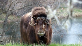 Minnesota Zoo puts down last 2 musk oxen after Minnesota becomes too warm
