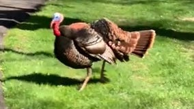Video captures familiar turkey with a habit of chasing one woman's car