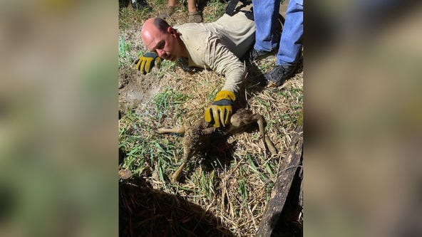 Newborn fawns rescued from sinkhole in northern Minnesota