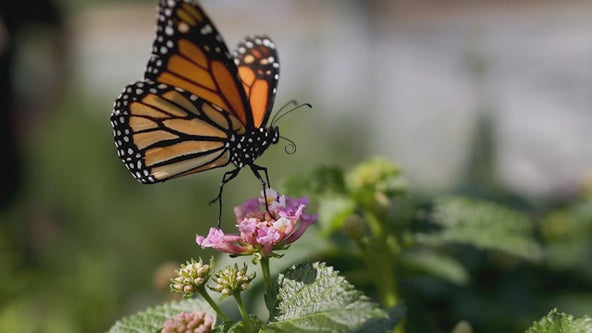 Minnesota couple on mission to save monarch butterflies