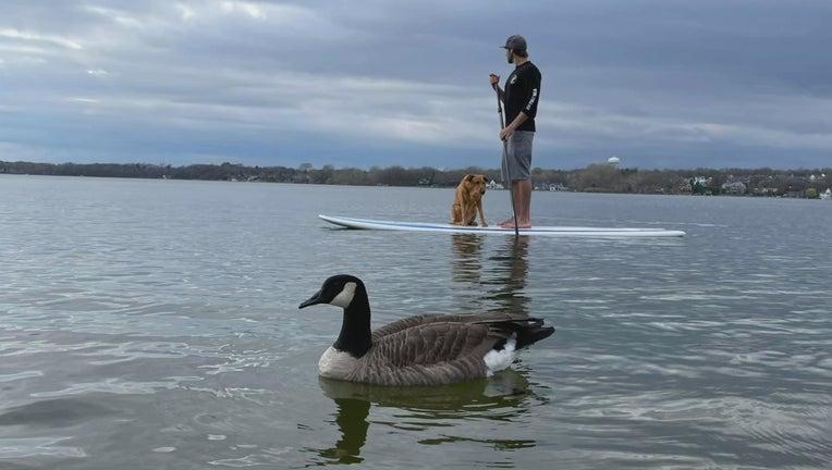 peeps the goose