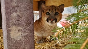 Cougar kitten recovers from injuries at The Wildcat Sanctuary