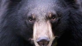 Bear sightings on rise as they seek food amid drought