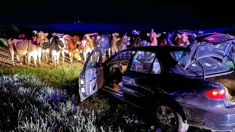 Cows stop pursuit