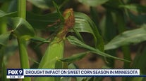 Farmers eager to bring sweet corn to Minnesota State Fair after challenging year