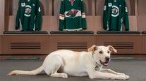 Minnesota Wild adopt new dog, Celly