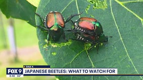 Keeping Japanese Beetles under control in your garden