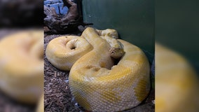'Super sweet' 12-foot python escapes zoo in Louisiana mall, search continues