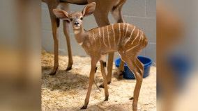 Baby kudu born at Como Zoo