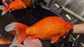 Don't release your pet goldfish into lakes, Burnsville officials urge