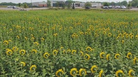Sunflower garden brings peace to Allina Crossroads Clinic