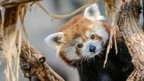 Minnesota Zoo announces death of red panda Min