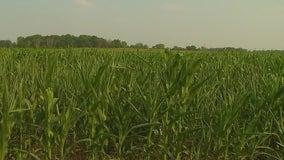 Hot, dry summer spells devastation for Minnesota farmers