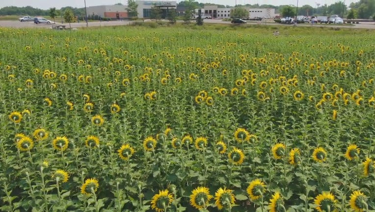 sunflowers at Allina Clinic