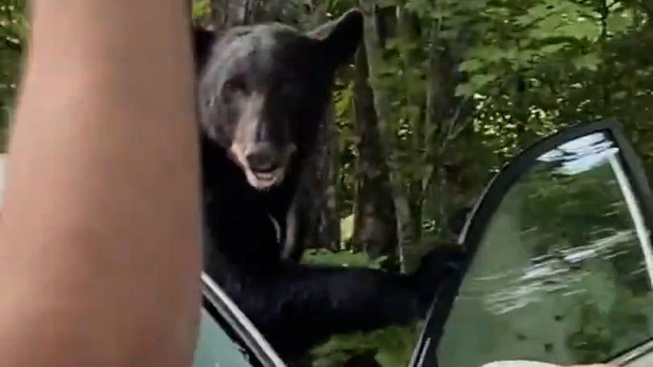 BLACK BEAR IN CAR