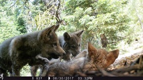 California wolf families have new litters of pups