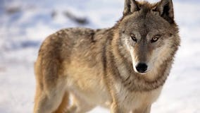 Animal rights groups sue to stop Wisconsin wolf hunt
