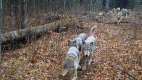 4 new wolves found on Isle Royale on Lake Superior