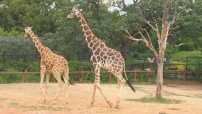 Como Zoo giraffe fitted with special shoes after fracturing hoof