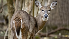 DNR temporarily bans deer importation, movement within Minnesota