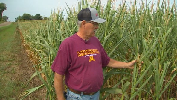 Drought causes some Minnesota farmers to harvest early