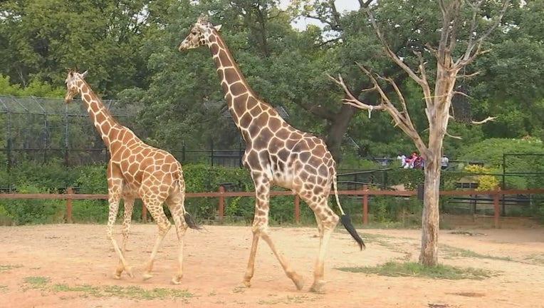 skeeter giraffe