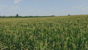 Minnesota farmers seeing smaller returns on corn harvest due to drought