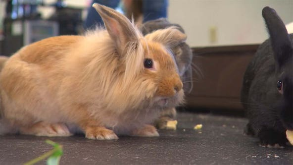 Highly contagious rabbit disease detected in Minnesota