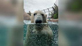 New polar bear at Como Zoo helping test out 3M technology