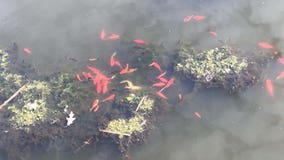 Don't release goldfish or Koi into ponds, Savage city officials say