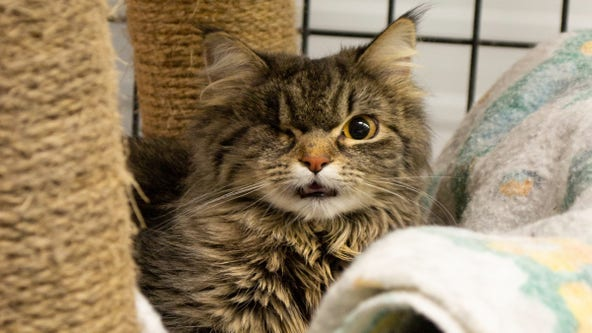 Severely injured 'whistling cat' being treated at Minnesota wildcat sanctuary