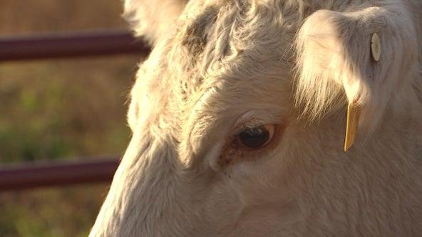 Minnesota cattle farmer sells half of herd after tough drought season