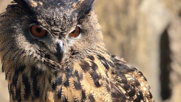 Minnesota Zoo Eurasian eagle owl, Gladys, is missing