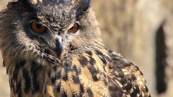 Minnesota Zoo confirms missing Eurasian eagle owl, Gladys, has died