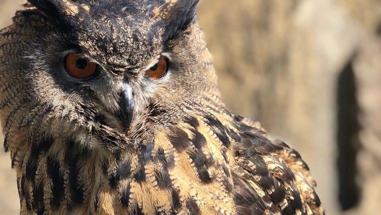 Eurasian eagle owl Minnesota Zoo