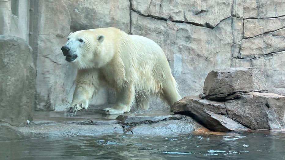 Kulu como um urso polar do zoológico