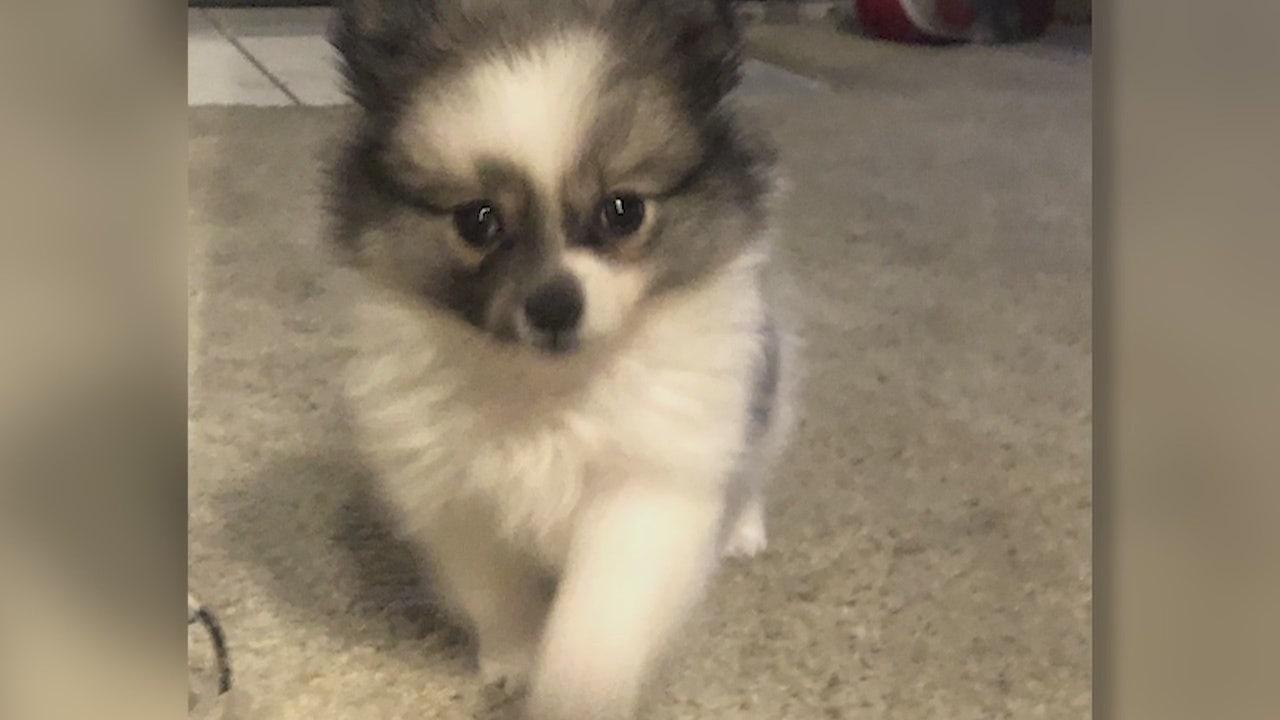 Santa Clarita woman's puppy stolen then sold on Craigslist