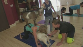 Goat Yoga has arrived in Los Angeles