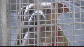 City of LA debate on removing breed ID from dog kennels, adoption forms at city shelters