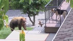 Bear wanders through San Gabriel Valley neighborhood, faces off with dog