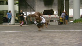 Wiener dogs race to the finish on Good Day LA