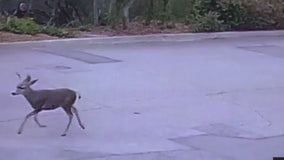 Residents upset after hunter shoots deer with bow and arrow in Monrovia neighborhood