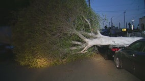 Uprooted tree brings down wires, damages car in Inglewood