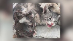 Kitten found trapped in illegal steel jaw trap