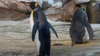 Gay penguins adopt egg after attempting to hatch stones at zoo