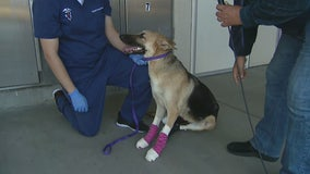 German Shepard dragged from truck receives ongoing treatment from Riverside County Animal Services