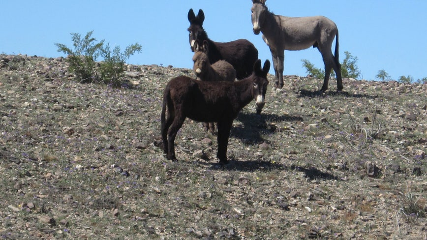 $10,000 reward offered for information leading to arrest of wild burro killer
