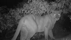 Surveillance video shows mountain lion P-61 being chased moments before his death