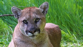 Simi Valley man sentenced to jail for killing protected mountain lion